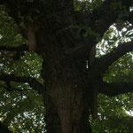 古いイチョウの樹 「乳根」