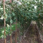 2 j. Kirschbäume der Sorte Pflugwirtle
