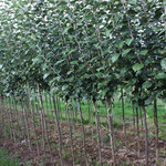 2 jährige Apfelhalbstämme in Sorten