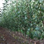 2 jährige Birnenbüsche auf Quitten Unterlage