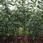 2 jährige Knipbäume der Sorte Regina auf Gisela 5