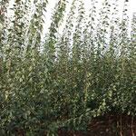 1 jährige Zwetschgen in Sorten auf Weiwa Unterlage