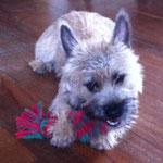 Sarko Cairn Terrier