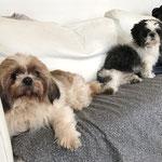 Enzo et Bobby Shih tzu