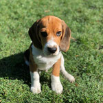 Olso Beagle
