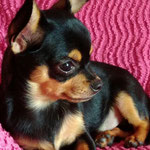 Willy  Chihuahua