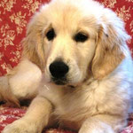 Eva Golden Retriever