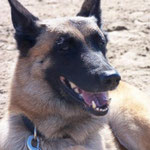 Pipe Berger Belge Malinois