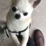 Ugo Chihuahua