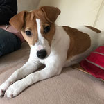 Mikie Jack Russell