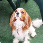Ithaque Cavalier King Charles