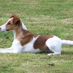 Fire Fox Terrier à poils lisse