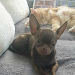 Guizmo Chihuahua