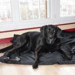Labrador croisé