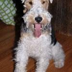 Dana Fox Terrier à poils dur