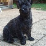 Mora croisé Cairn Terrier Scottish