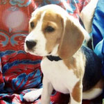 Cybil Beagle