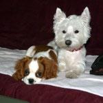 Zoe et Pucca Cavalier King Charles et Westie