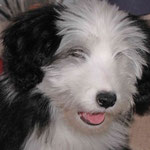 Gribouille Bearded Collie