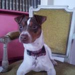 Hermes Terrier Brésilien