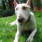 Sally bull Terrier