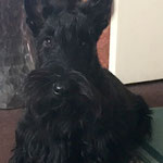 Arthur Scottish Terrier