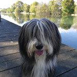 Galice Bearded Collie