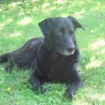 Zeus Labrador