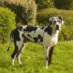 Dante Dog Allemands