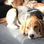 Oliver Beagle