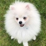 Cooky Chihuahua