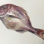 水彩画 鯛