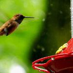 Kolibri - Oregon by Ralf Mayer
