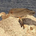 Fischreiher - St. Petersburg Beach - Florida by Ralf Mayer