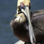 Pelikan - St. Petersburg - Florida by Ralf Mayer