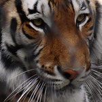 Tiger - Busch Gardens Tampa - Florida by Ralf Mayer