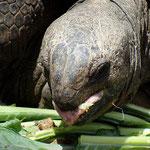 Riesenschildkröte - Busch Gardens Tampa - Florida by Ralf Mayer