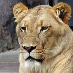 Lion King - Busch Gardens Tampa - Florida by Ralf Mayer