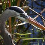 Fischreiher - Everglades Florida by Ralf Mayer