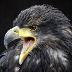 Weißkopf-Seeadler Zoo Kaiserslautern by Ralf Mayer