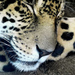 Leopard - Woodland Park Zoo Seattle by Ralf Mayer