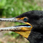 Kormoran - Everglades Florida by Ralf Mayer