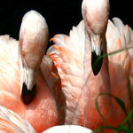 Flamingos - Woodland Park Zoo Seattle by Ralf Mayer