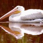 Pelikan - Everglades Florida by Ralf Mayer