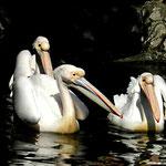 Pelikane - Zoo Frankfurt by Ralf Mayer