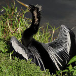 Anhinga - Everglades Florida by Ralf Mayer