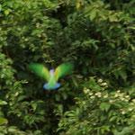 Papagei in der 'Fresswand'