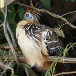 Der 'prähistorische' Vogel