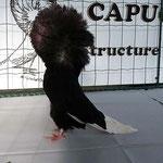 Capucin Noir
