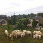 Convivialité avec notre troupeau de vaches allaitantes